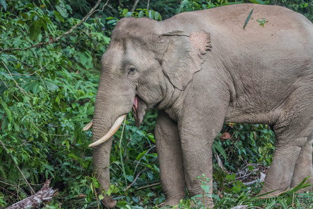 Asian elephants are classified as mammals. But in the dry season with wildfire. May flee into the damp forest, such as dry evergreen forest. Archivio Fotografico - 98900430
