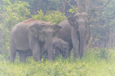 Asian elephants are classified as mammals. But in the dry season with wildfire. May flee into the damp forest, such as dry evergreen forest. Stockfoto