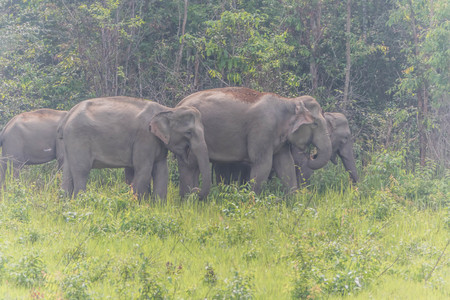 Asian elephants are classified as mammals. But in the dry season with wildfire. May flee into the damp forest, such as dry evergreen forest. Archivio Fotografico - 98899923