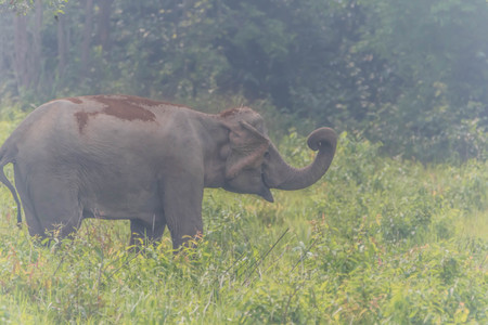 Asian elephants are classified as mammals. But in the dry season with wildfire. May flee into the damp forest, such as dry evergreen forest. Archivio Fotografico - 98899892