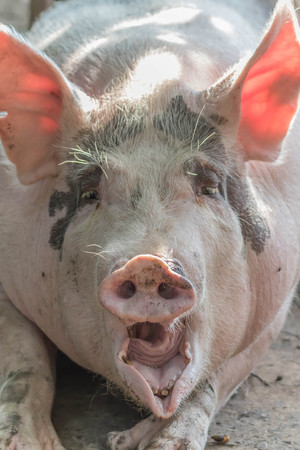 A pig hoof couple herbivorous. But eat both plants and animals as well as wild boar ancestors. Swine evolve gastroenteritis at large.