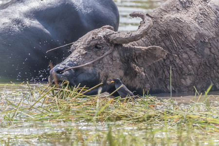 Buffalo is an animal with four legs, hooves the size of adult cattle at the age of 5-8 years, adult males weigh on average 520-560 kg females average about 360-440 pounds. Фото со стока