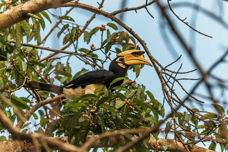 Hornbills are birds that are now extinct, that another kind of a weird stylized nature than other birds such as a male, the female will mate with their own life. 免版税图像