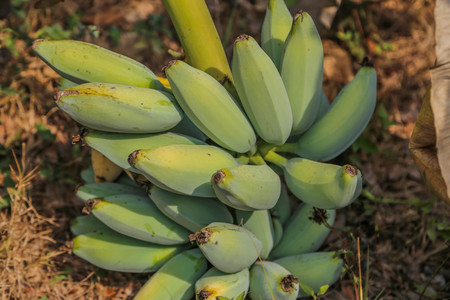Banana plant species in the genus Musa are several species in the genus. Some shoots out but some of it is flat out shoots long petioles, lower long as the outer wrapping stacked trunk. Reklamní fotografie