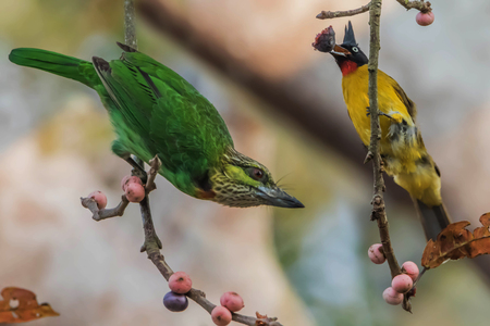 Barbet is a medium-sized bird in the family Megalaimidae rated Woodpecker Barbet look big, thick beak. Hairy mouth and sing loudly to hear it. Stock Photo