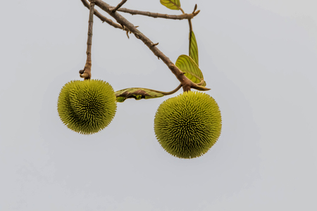 Forest fruit is a fruit that occurs naturally in the wild. Both edible and inedible. A variety of wildlife. Increase the fertility of the forests.