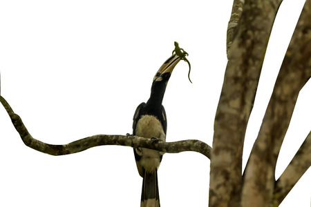 Hornbills are birds that are now extinct, that another kind of a weird stylized nature than other birds such as a male, the female will mate with their own life. Banque d'images