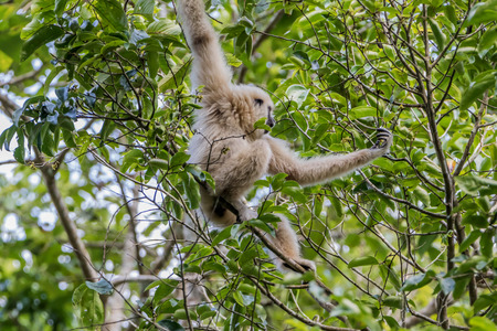 Gibbons classified in the phylum chordate. Floor mammal primate (Primates) is the ape.