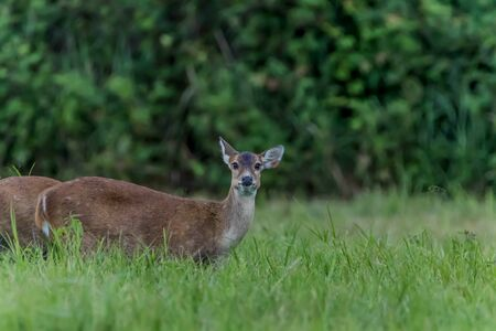 Hog deer are small Build a relatively short thigh-length head - body height 105-115 cm at the shoulder is 60-75 cm, dark brown hair. A black line runs along the spine. Фото со стока