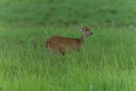 Hog deer are small Build a relatively short thigh-length head - body height 105-115 cm at the shoulder is 60-75 cm, dark brown hair. A black line runs along the spine.