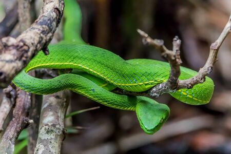 The body is elongated head Lim pointed mouth size when fully grown up to two meters by the body very green. Often with a white line along the side of the body between the scales with gold flakes.