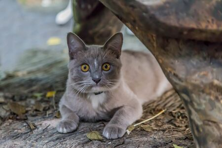 Cat or cats (Scientific name: Felis catus) is a mammal of the family Felidae family tree comes from the Siberian tiger (Felis tigris altaica). 스톡 콘텐츠