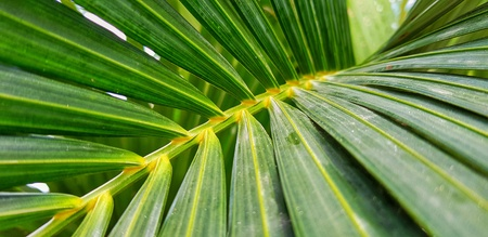 Green Areca Catechu leaves and branch