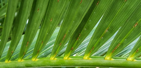 Green Areca Catechu leaves close up