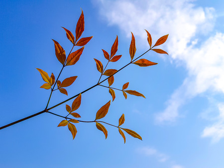 Branch of tree with two - three orange leaves branch out from the twigs over the clear blue sky in the spring season