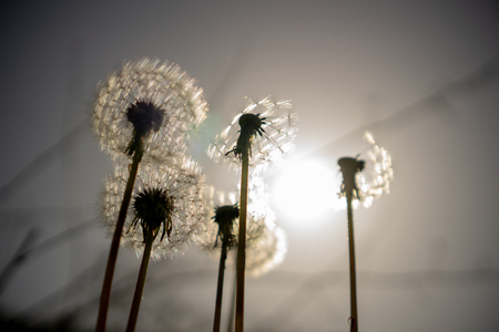 The seed head of a dandelion or Taraxacum flowers, silhouette and blured effect. 免版税图像