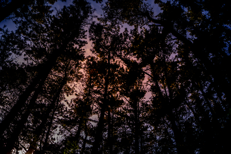 Tall pine tree forest on the hill in the dark evening. Фото со стока