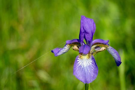 Violet iris flower grow in the garden. Imagens - 106864778