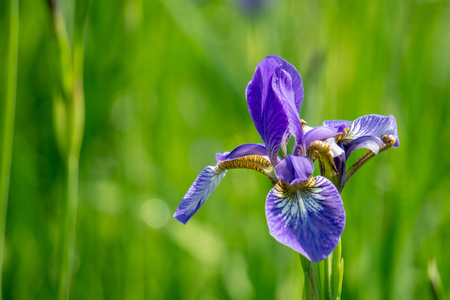 Violet iris flower grow in the garden. Imagens