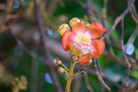Flowers of Shorea robusta also known as sal, sakhua or shala tree. This tree is religious significance to Hindu and Buddhism.