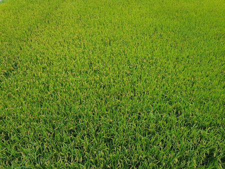 Young rice growing in the green rice paddy fields in urban area of South Korea. Stock Photo