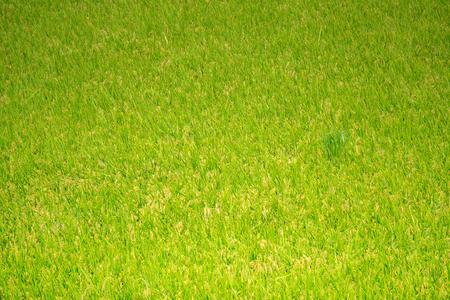 Green rice paddy field in South Korea around harvest season