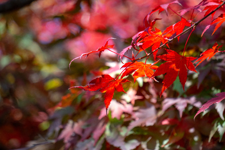 Red acer palmatum, commonly known as palmate maple, Japanese maple or smooth Japanese-maple leaves. Leaves changing its colour when autumn.