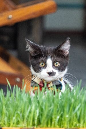 Little black and white long-legged munchin kitten sit in the garden with green grass on the foreground. His face looked like human because mustache pattern on his nose. Фото со стока