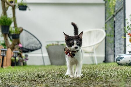Little black and white long-legged munchin kitten walk like a mafia in the garden.His face looked like human because mustache pattern on his nose. Фото со стока