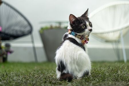 Little black and white long-legged Munchin kitten sitting backward in the garden.