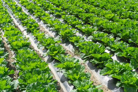 Fresh green vegetable growing in the row of field. Reklamní fotografie