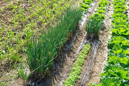 Fresh green vegetable growing in the row of field. Banco de Imagens