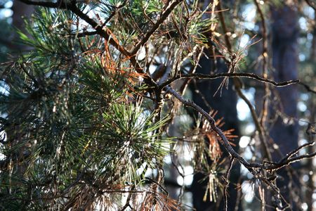 bough: Green bough for pine Stock Photo