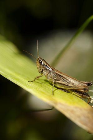 Alone grasshopper photo