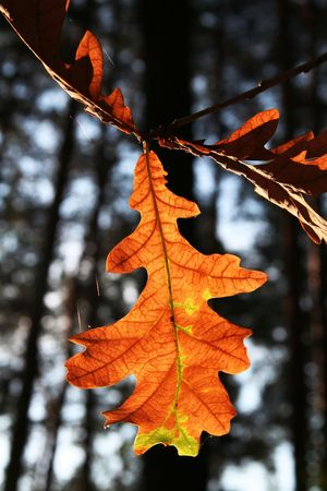 woodscape: Bright orange oak-tree leaves