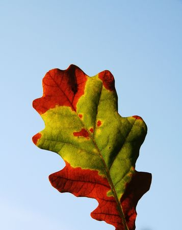 woodscape: Colorful autumn oak-tree leaves