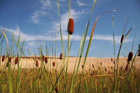 bulrushes: cattails (also known as bulrushes) growing by the lake