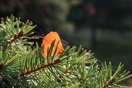 woodscape: Orange birch leaves on the pine Stock Photo