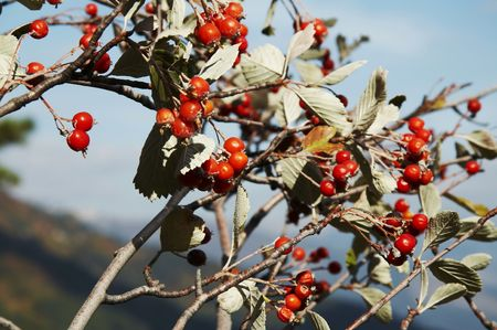 woodscape: Red berries on the tree Stock Photo