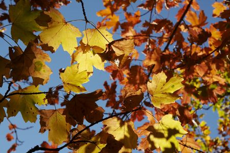 woodscape: Colorful autumn maple leaves