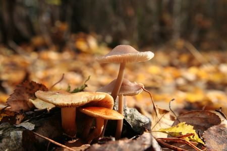 woodscape: Yellow autumn mushroom in forest