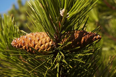 Pine cone for nature photo