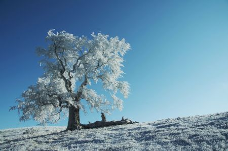 Alone frozen tree on the blue background photo