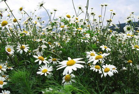 crimea: Camomile flowers in Crimea