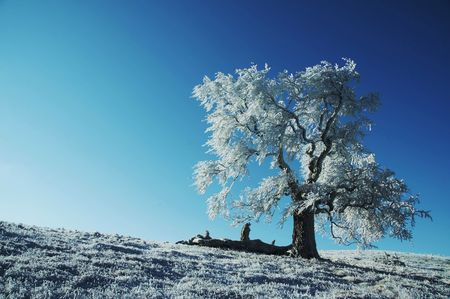 Alone frozen tree on the blue background Stock Photo - 813808