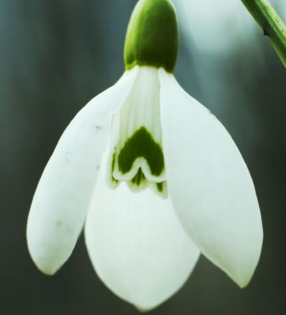 Snowdrop close-up and hearts icons inside photo