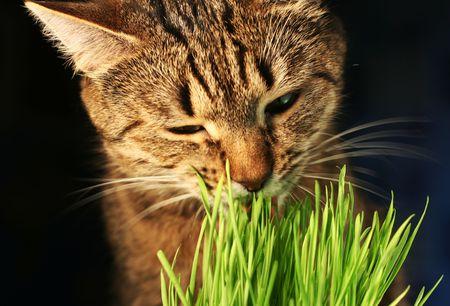 Cat eathing green grass