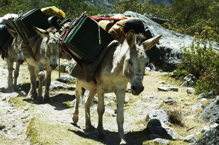 expedition: Donkey in the expedition for Alpamayo in Peru