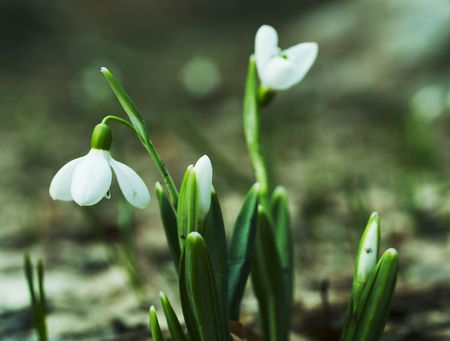 First spring flowers Stock Photo - 817407