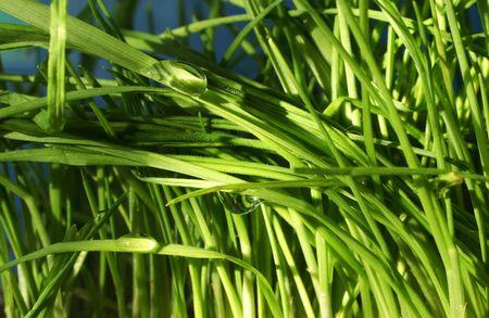 dewdrop: Dew-drop in grass